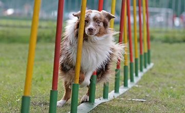 Agility Fun Runs